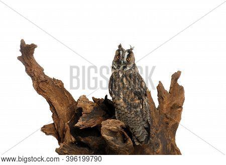 Beautiful Eagle Owl On Tree Against White Background. Predatory Bird