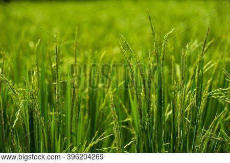 Tall Light Green Grass Background