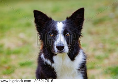 Beautiful Border collie black and white on the grass