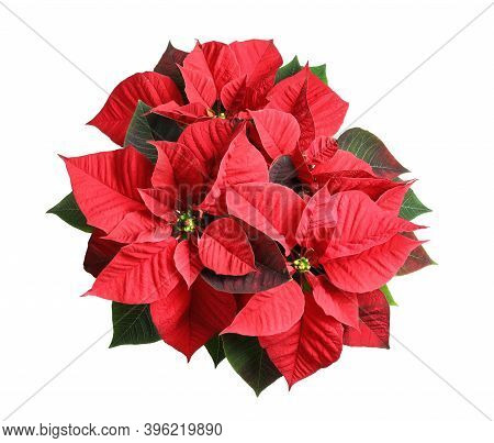 Red Poinsettia Isolated On White, Top View. Christmas Traditional Flower