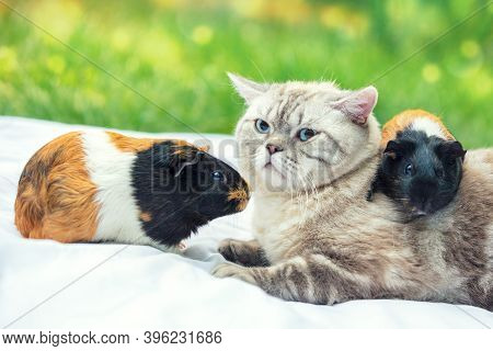Cat With Two Guinea Pigs In The Garden. One Guinea Pig Lies On The Cat's Back