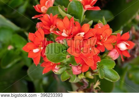 Flaming Katy Red Flower Of The Species Kalanchoe Blossfeldiana