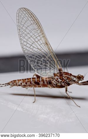 Brazilian Prong-gilled Mayfly