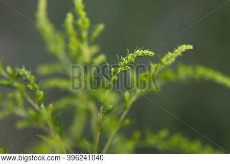 Natural Green Background. Blurry Green Twigs Of Goldenrod Close-up. Side View Of Green On Green Bran