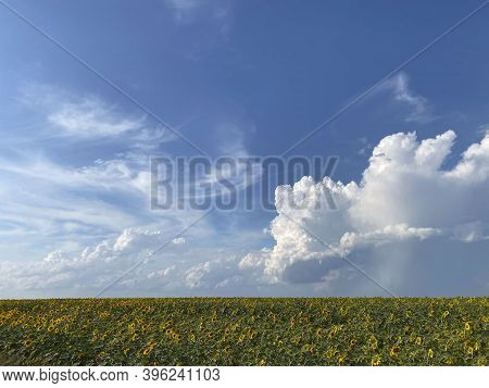 Nature Background.landscape Of Blue Sky With White Clouds And Yellow Field Of Sunflowers. View Of Th