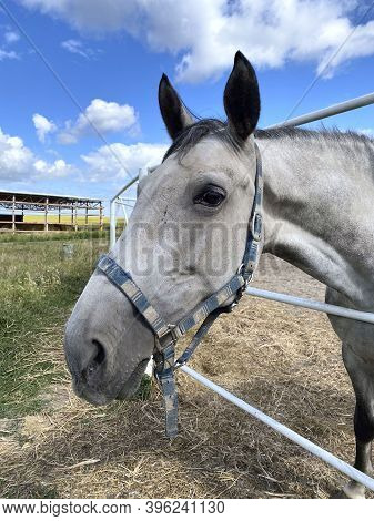 Portrait Of A Gray Horse. Side View Of A Gray Horse On A Background Of A Blue Sky With White Clouds.