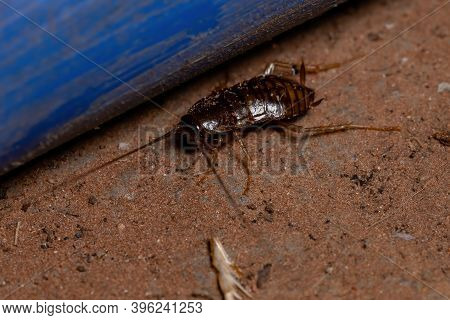 Sand Cockroach Of The Subfamily Latindiinae In The Ground
