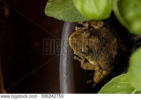 Fuscous-blotched Snouted Tree Frog