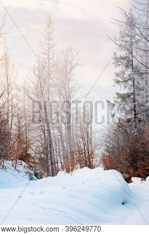 Tall Beech Trees In Hoarfrost At Sunrise. Beautiful Winter Nature Scenery On A Bright Misty Morning.