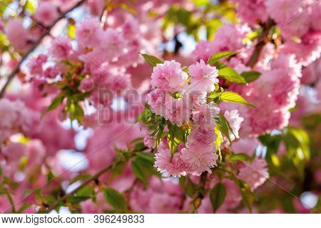 Pink Cherry Blossom In Spring Time. Lush Flowers Sakura On Branches In Morning Light. Beautiful Natu