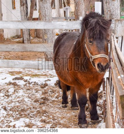 Brown Little Pony Horse Walking In The Paddock In Winter. Blurred Background.