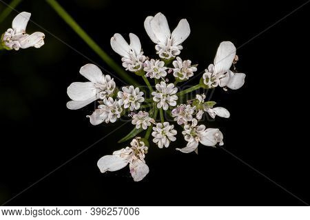 Coriander Flower In Detail