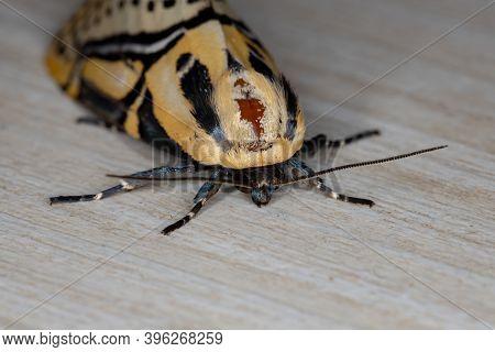 Hieroglyphic Moth Of The Species Diphthera Festiva