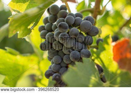 A Bunch Of Fresh Dark Black Ripe Grape Fruit On Green Leaves Under Soft Sunlight In Vineyard At The