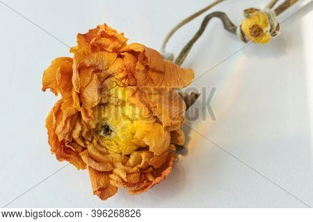 Dry orange ranunculus on a gray background