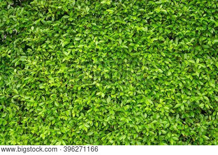 Green Leaf Wall Of Ficus Shrub Plant, Closeup Image For Greenery  Nature Background
