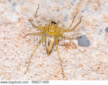 Lynx Spider Of The Genus Peucetia In Macro View
