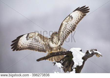 Majestic Common Buzzard Landing On Tree In Winter.