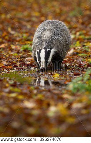 Thirsty European Badger Drinking From Splash In Autumn