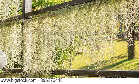 Spanish Moss (tillandsia Usneoides) Plant In The Garden.