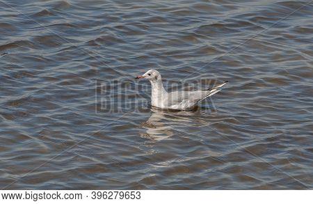 Black-headed Gull, Chroicocephalus Ridibundus, In The Ornithological Reserve Of Teich, Next To The A