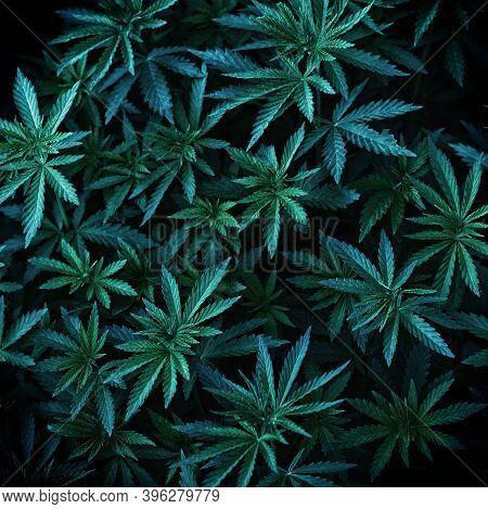 Background Of Young Shoots Of Marijuana. Growing Organic Hemp On The Farm. Wallpaper Of Marijuana. L