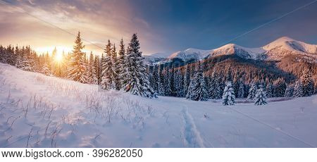 Scenic image of spruces tree in frosty day. Location place Carpathian mountains, Ukraine, Europe. Splendid wintry wallpapers. Christmas holiday concept. Happy New Year! Discover the beauty of earth.