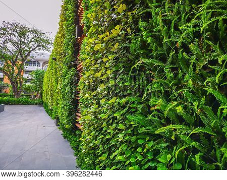 Greenery Vertical Garden Wall Of Green Leaves And Outdoor Plant With A Good Maintenance Landscape In