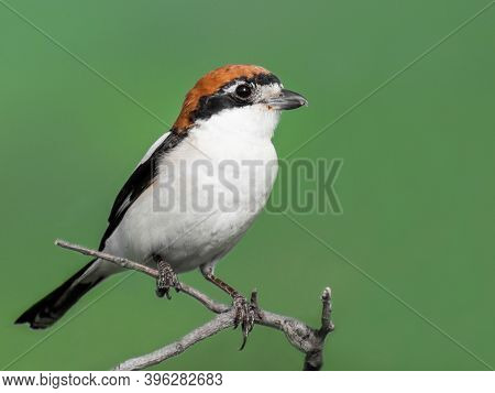 Woodchat Shrike (lanius Senator) Perched On A Small Branch. Beautiful Bird With Green Background. Po
