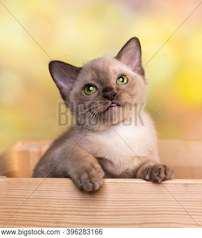 Burma kitten, Young cat on color background