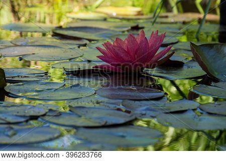 Pink Lotuses Bloom On An Ornamental Pond In The Garden. Lotus Flower Marliacea Rosea Or Pink Water L