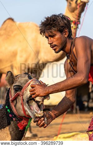 November 2019 Pushkar,rajasthan. After Piercing The Nose Of A Young Camel The Cameleers Putting The