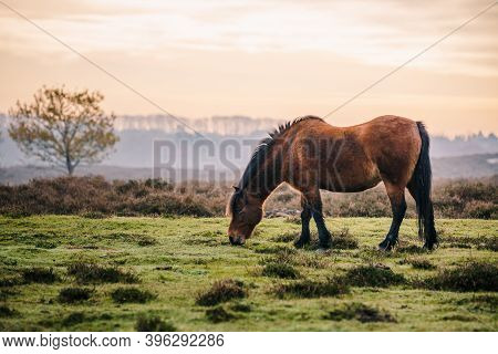 Wild Pony Eating Grass In The Meadow At Sunrise