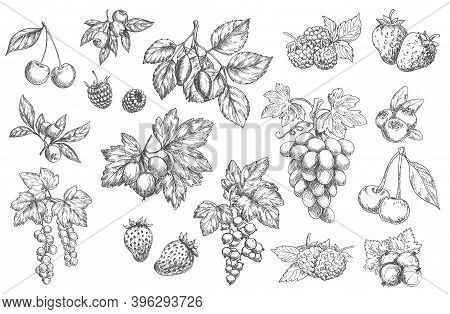 Sketch Berries Vector Cherry, Blueberry And Wild Rose Hip With Raspberry. Orchard Or Garden Blackber