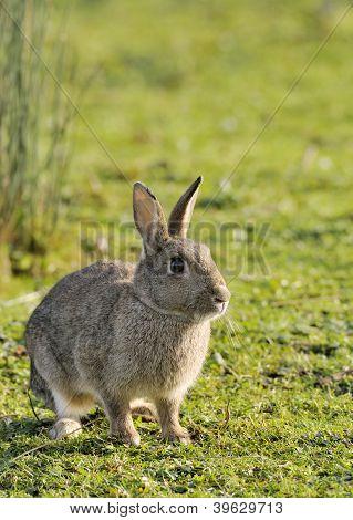 Wild Rabbit on short turf - Oryctolagus cuniculus poster