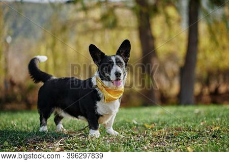 Cardigan Welsh Corgi Is Standing At The Autumn Park. Happy Breed Dog Outdoors. Little Black And Whit