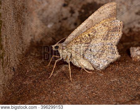 Geometer Moth Of The Family Geometridae In Macro View