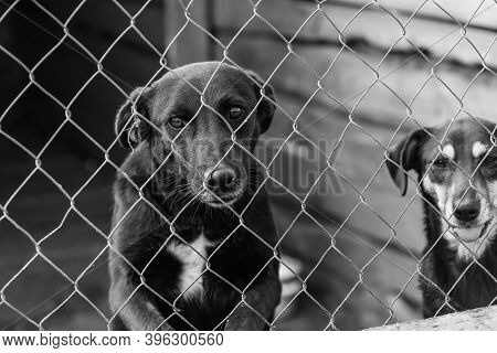 Black And White Photo Of Dogs At The Homeless Dog Shelter. Abandoned Dogs. Bw