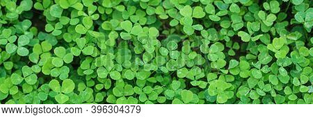Beautiful Background With Green Clover Leaves For Saint Patricks Day. Banner. Copy Space.