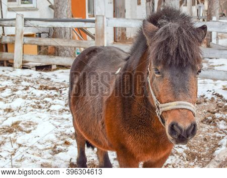 Portrait Of A Sad Little Pony In Captivity. Bushy Pony Mane. Blurred Background.