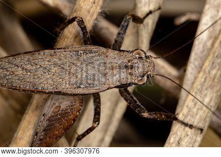 True Cricket Of The Genus Eneoptera In Macro View
