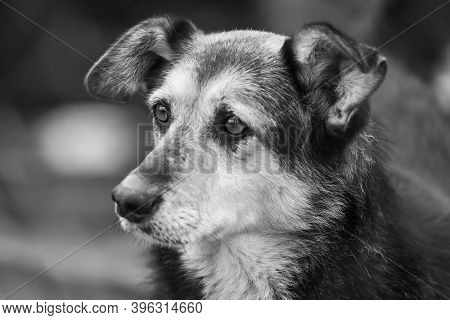 Black And White Photo Of Homeless Dog In A Shelter For Dogs. Bw