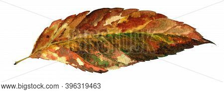 Elm Tree Autumn Dry Leaf Watercolor Illustration. Hand Drawn Fraxinus Leaf From Colorful And Bright