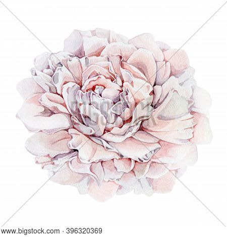 Peony Tender Pink Flower Watercolor Illustration. Hand Drawn Close Up Carnation Blossom With Petals