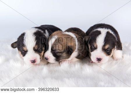 Pembroke Welsh Corgi Pembroke Puppies On White