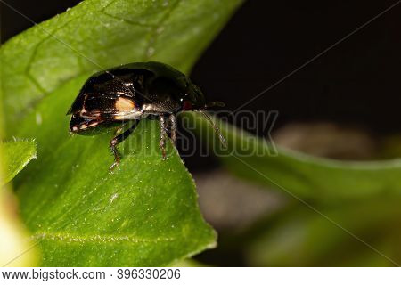 Ebony Bug Of The Genus Galgupha In Macro View