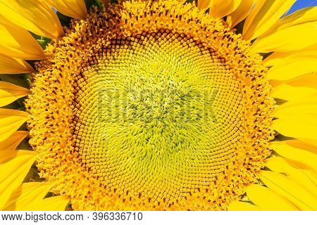 Closeup Of A Sunflower With Yellow Petals And Green Leaves. Yellow Sunflower In The Summer Garden Un