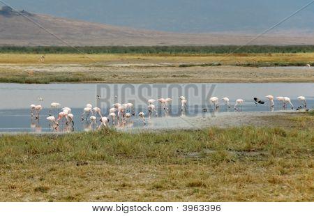 Pink Flamingos Into The Ngorongoro