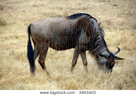 Gnu In The Ngorongoro