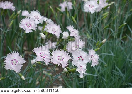 Pink Flowers Of Dianthus Deltoides In May